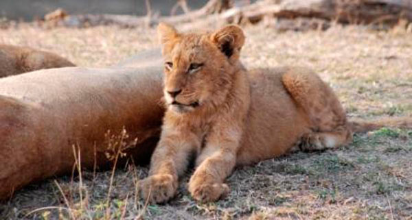 lion cub while on safari at sabi sabi