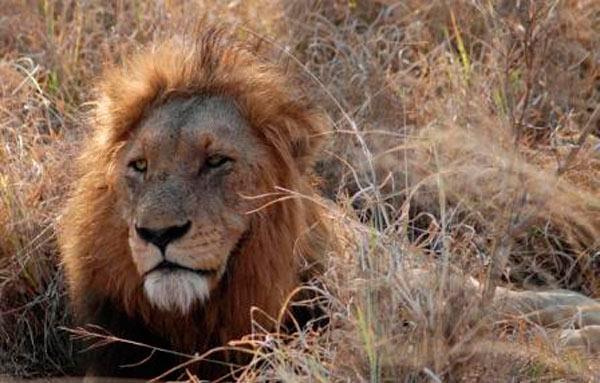 male lion at sabi sabi