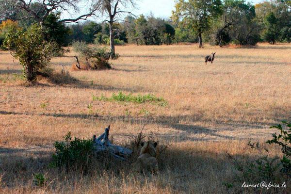 lion action while on safari at Sabi Sabi