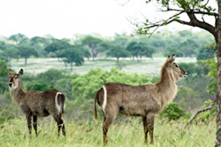 waterbuck at Sabi Sabi Private Game Reserve