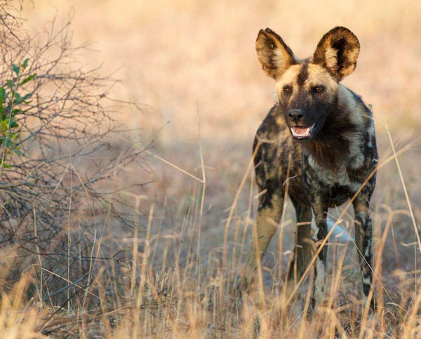 wilddog sighting while on safari at Sabi Sabi