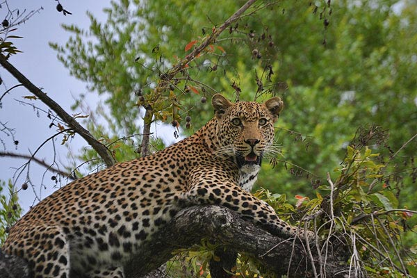 leopard at sabi sabi while on safari