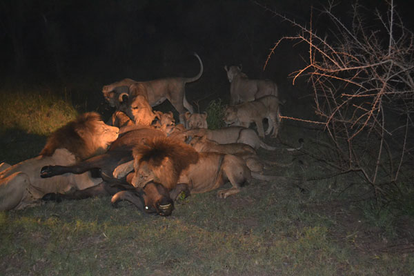 lion kill at sabi sabi while on safari