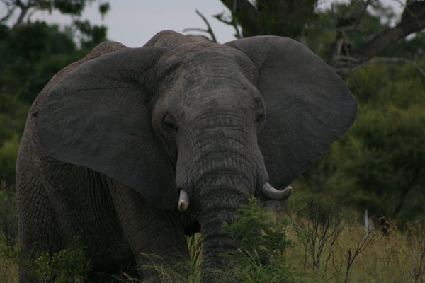 elephant while on safari at sabi sabi private game reserve
