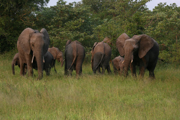 elephant herd at sabi sabi while on safari