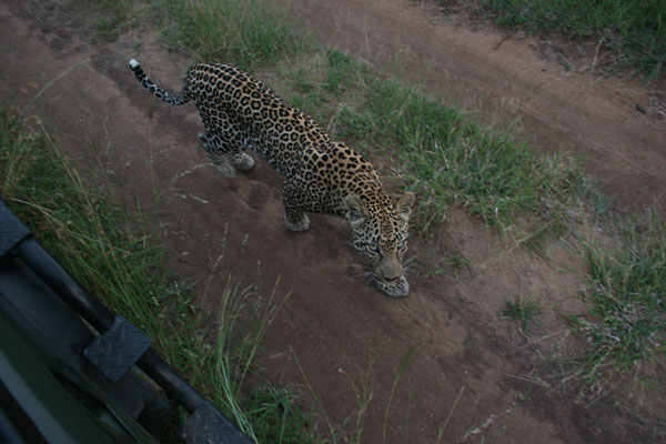 leopard while on safari at sabi sabi private game reserve