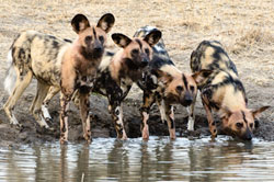 wild dogs at Sabi Sabi Private Game Reserve