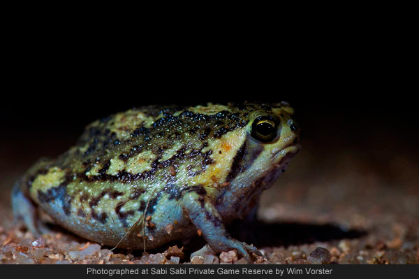 Bushveld Rain Frog at sabi sabi private game reserve