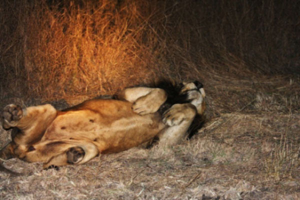 lion relaxing on safari game drive at sabi sabi