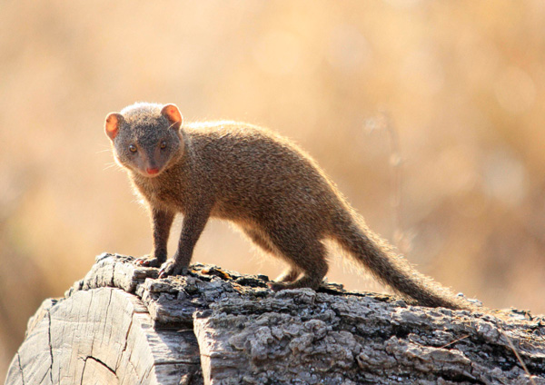 dwarf mongoose at sabi sabi