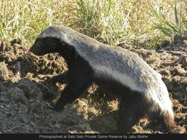 the relationship between a honey bird and badger