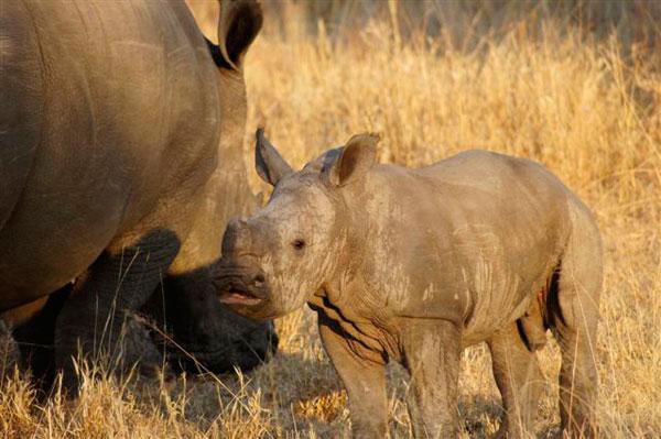 baby rhino at sabi sabi