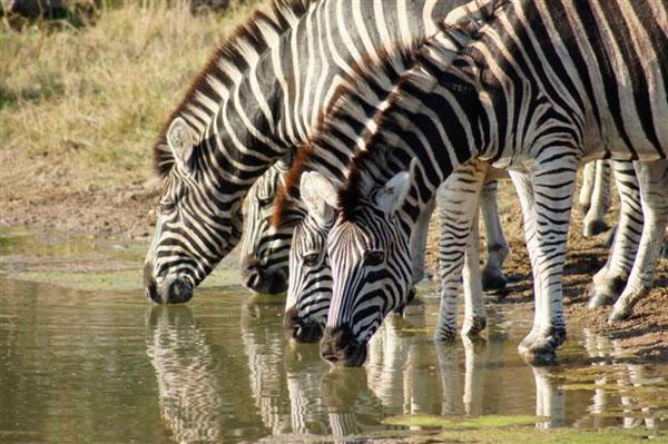 zebras while on safari game drive at sabi sabi
