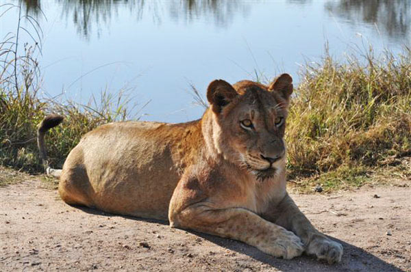 lioness relaxing on safari game drive at sabi sabi