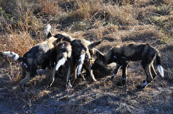 wild dogs while on safari game drive at sabi sabi