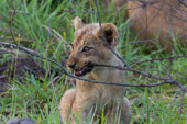 lion cub at Sabi Sabi Private Game Reserve