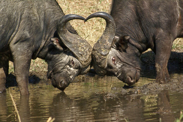 buffalo on safari at sabi sabi private game reserve