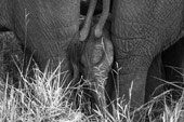 elephant calf at Sabi Sabi Private Game Reserve