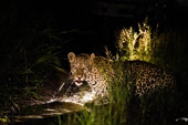 leopard at Sabi Sabi Luxury Safari Lodges