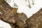leopard at Sabi Sabi Private Game Reserve