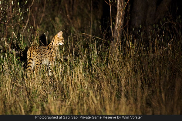 the serval seen on a night safari game drive at Sabi Sabi