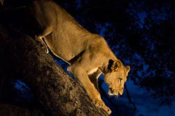 Side light for lioness at Sabi Sabi