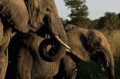 elephants at Sabi Sabi Luxury Safari Lodges