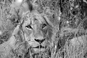 lion at Sabi Sabi Private Game Reserve
