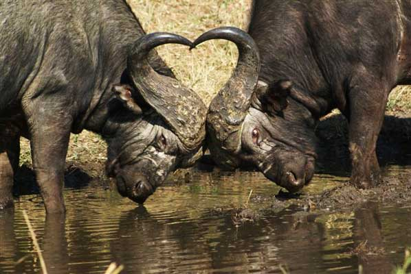 buffalo clash at sabi sabi