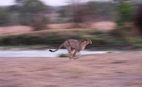 cheetah takes off at sabi sabi