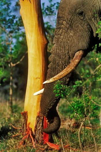 elephant feeding on knob-thorn tree