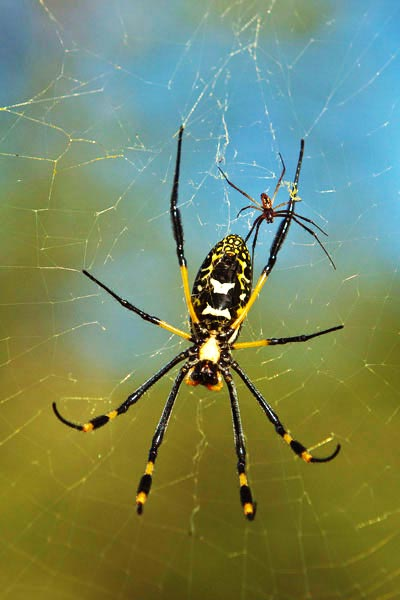 Golden Orb Web spider on Safari at Sabi Sabi Private Game Reserve