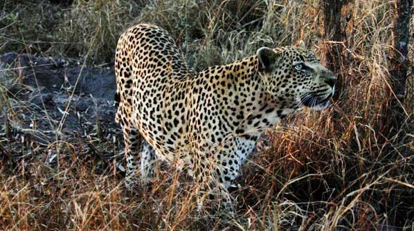 leopard on safari game drive