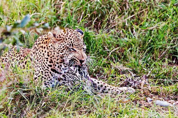 leopard eating a porcupine at sabi sabi