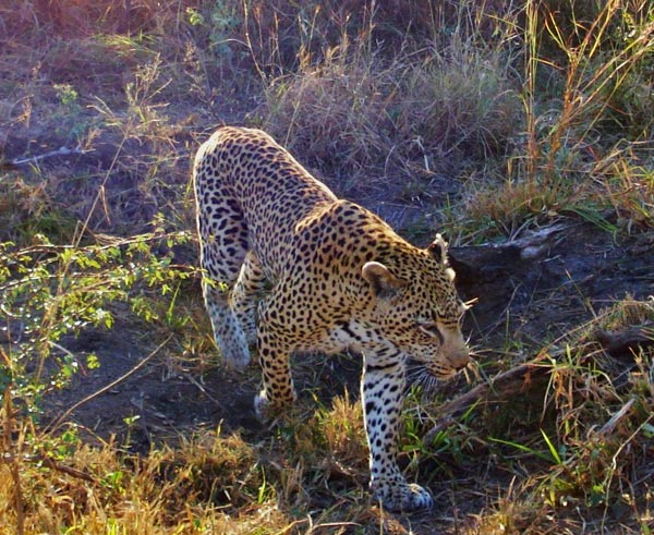 leopard walking next to game drive vehicle