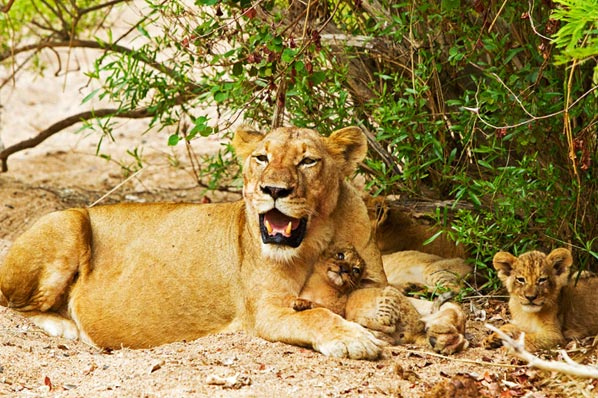 Lioness and cubs at Sabi Sabi Private Game Reserve