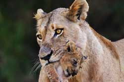 lioness with cub in her mouth at sabi sabi