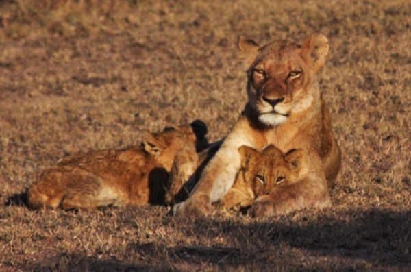 lioness with cubs at sabi sabi