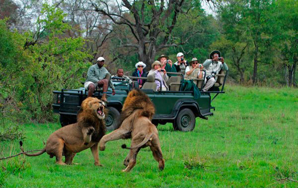 lions fight a sabi sabi while on safari