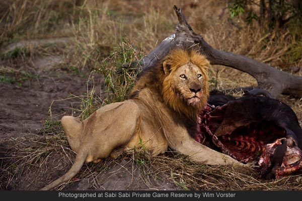 lion on a kill while on safari at Sabi Sabi