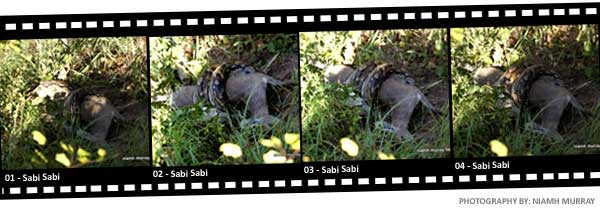 Photo Strip - Snake eating Duiker