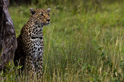 leopard while on safari