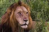 lion at Sabi Sabi Luxury Safari Lodges