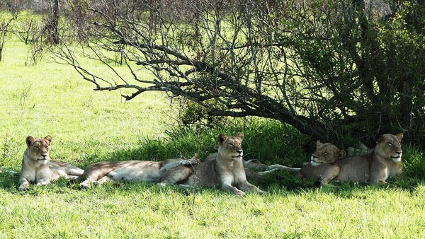 pride of lions in the shade at sabi sabi