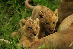 lion cubs at sabi sabi
