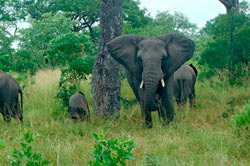 elephants on safari game drive