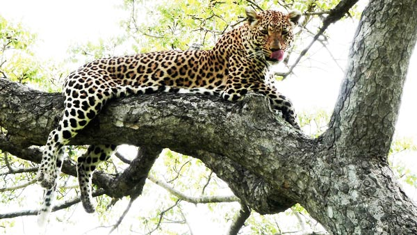 leopard in a tree on safari at sabi sabi