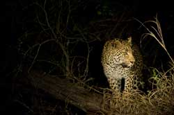 Leopard on a Night Safari