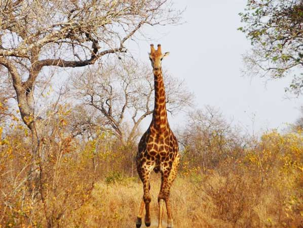 giraffe in the road sabi sabi