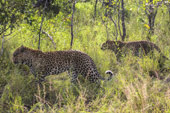 leopards at Sabi Sabi Luxury Safari Lodges
